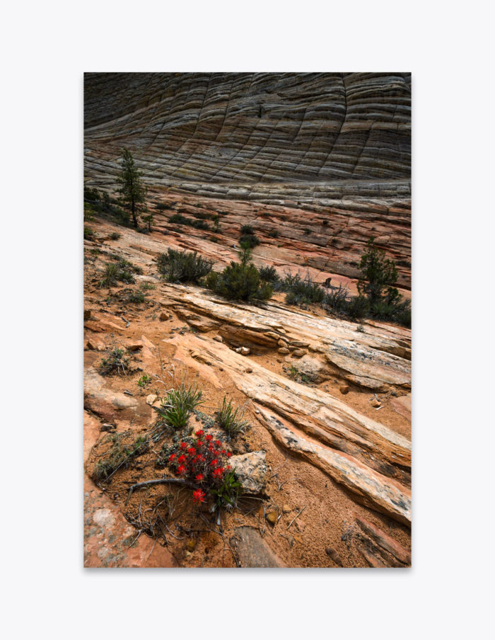 A bloom of Paintbrush wildflowers offers a burst of color against the sandstone striations of Checkerboard Mesa in Zion National Park.
