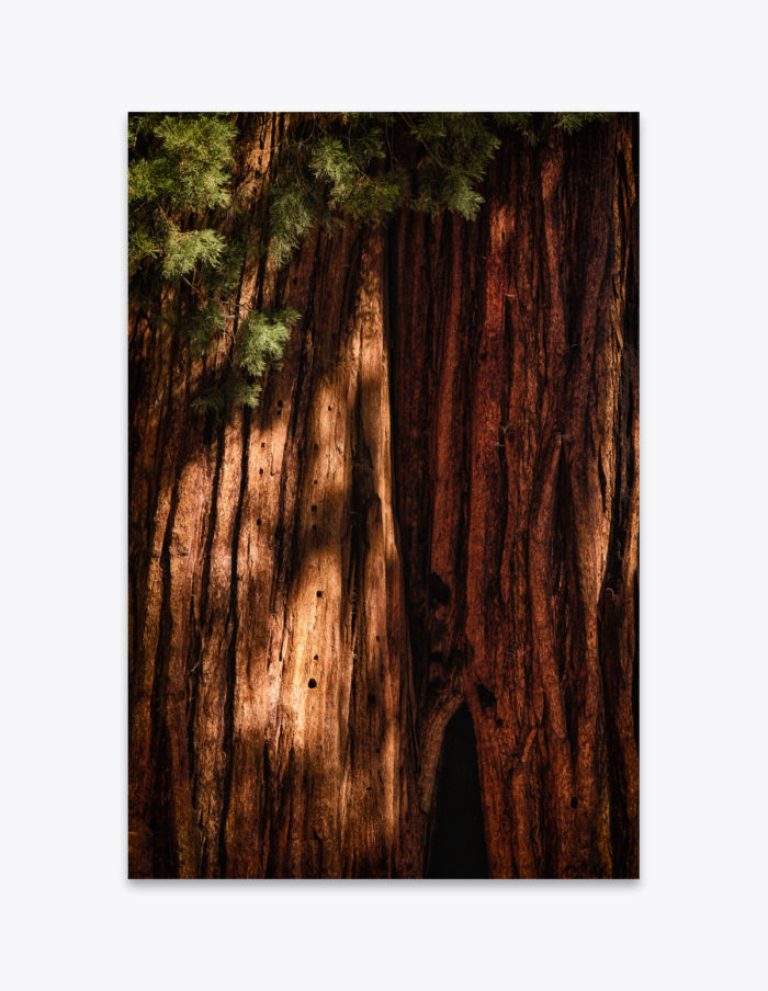 Over hundreds of years, two Giant Sequoia trunks converge into one on the tree named after Clara Barton in the Round Meadow of Sequoia National Park. Each trunk could be well over a thousand years old and have likely experienced many wildfires and earthquakes. An old fire scar slowly becomes enveloped by the neighboring tree and barring any major catastrophes, it will be completely concealed in another few hundred years.
