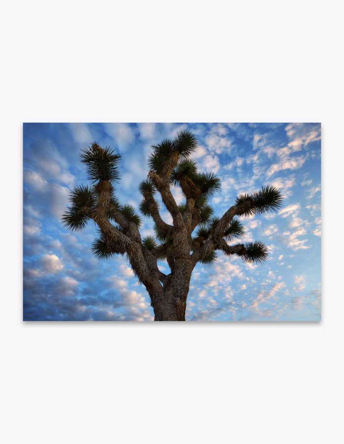 Like an overly excited friend who hasn't seen you in years, the Joshua Tree appears to just want to give you a big hug. Though I wouldn't recommend it since thee leaves are quite sharp and a somewhat serrated. Just like everything else in a desert!