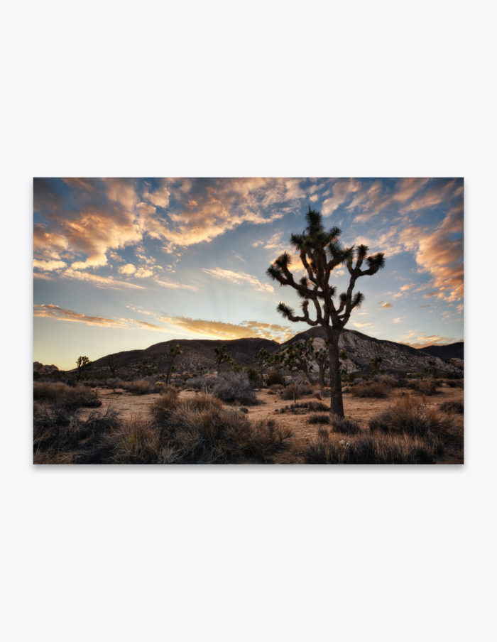 With jovial limbs and starry leaves, the Joshua Trees welcomes the new day's first light.